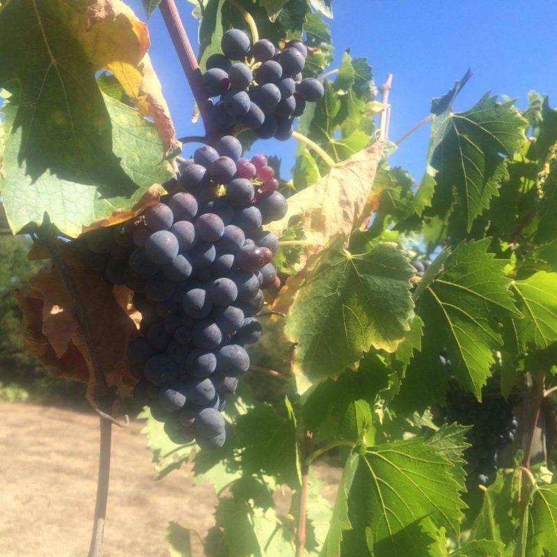 grapes at Statiano